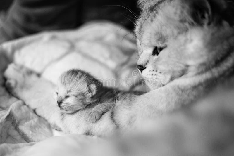 Chat avec un peu de minou Beaux moments de maternité Chat britannique avec un chaton image libre de droits