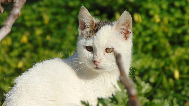 Chat, beaux animaux, Grec, chaton images stock