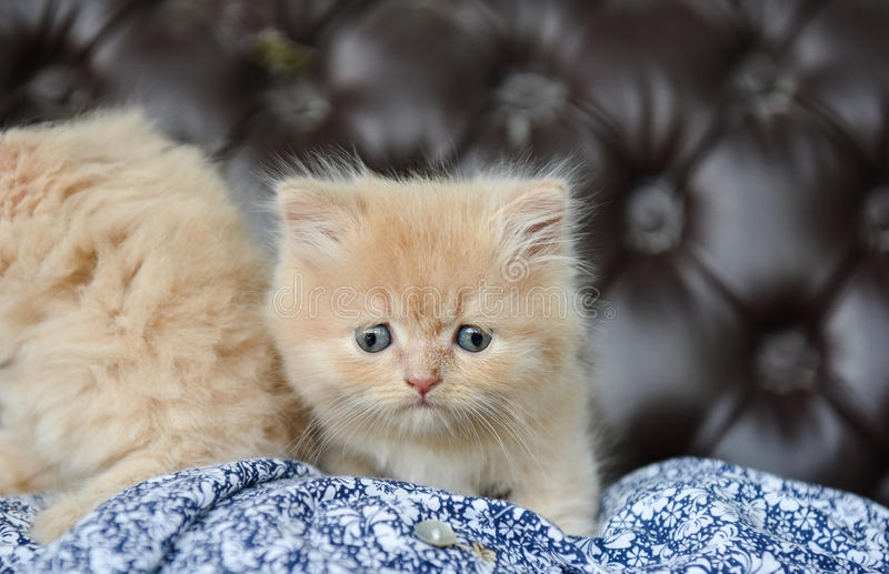 Chat bigle de munchkin image stock image du kitty animal - Prix chat munchkin ...