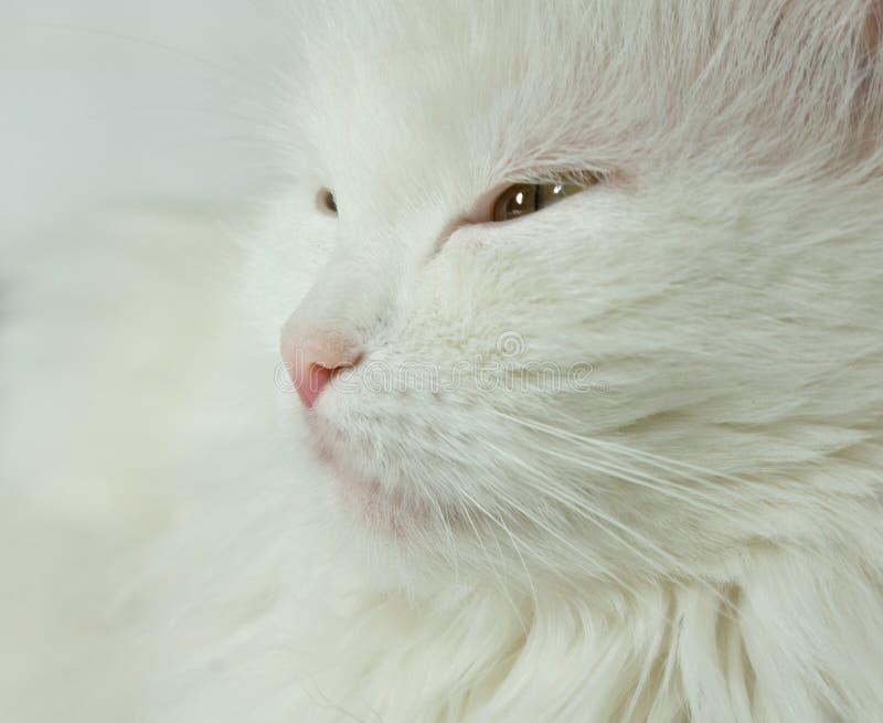 Chat blanc. images libres de droits