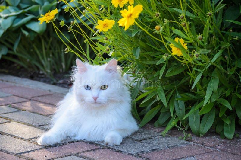 Chat blanc avec des fleurs de marguerite des prés d'or de tinctoria de Cota, de camomille jaune, ou de camomille d'oeil de boeuf image stock