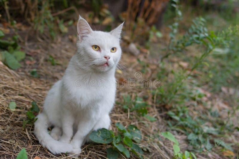 Chat blanc avec hypnotiser des yeux photos stock