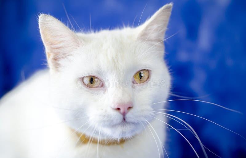 Chat blanc avec le collier de puce image libre de droits