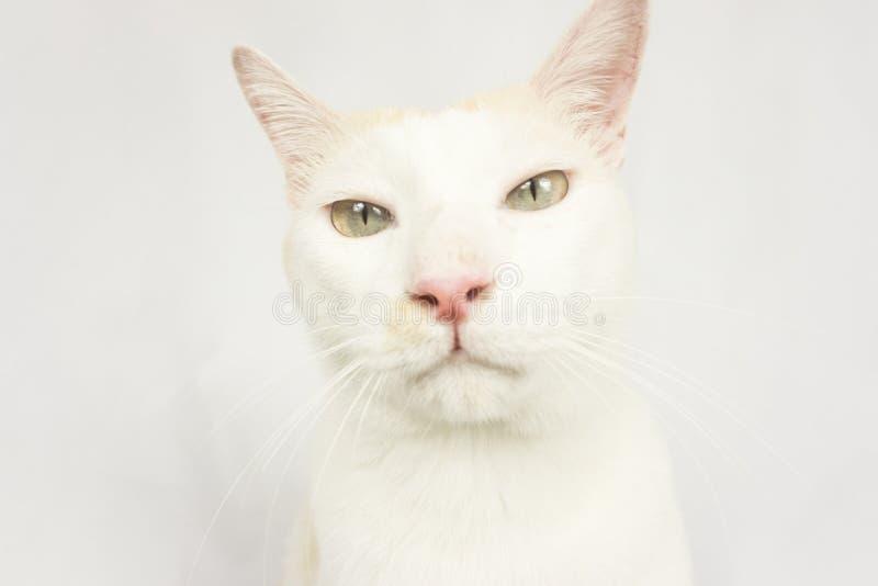 Chat blanc avec un fond blanc photo libre de droits