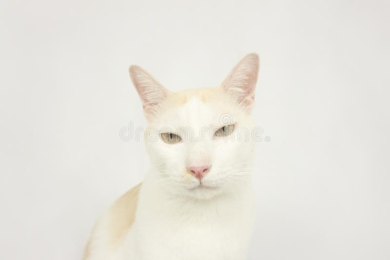 Chat blanc avec un fond blanc image stock