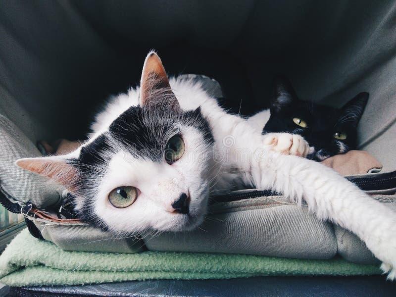 Chat blanc dans l'environnement gris regardant le chat de noir de petit morceau de caméra juste derrière photo stock