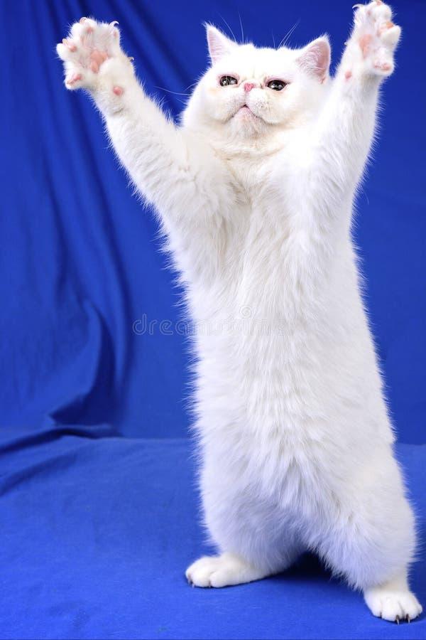 Chat blanc demandant une étreinte image stock