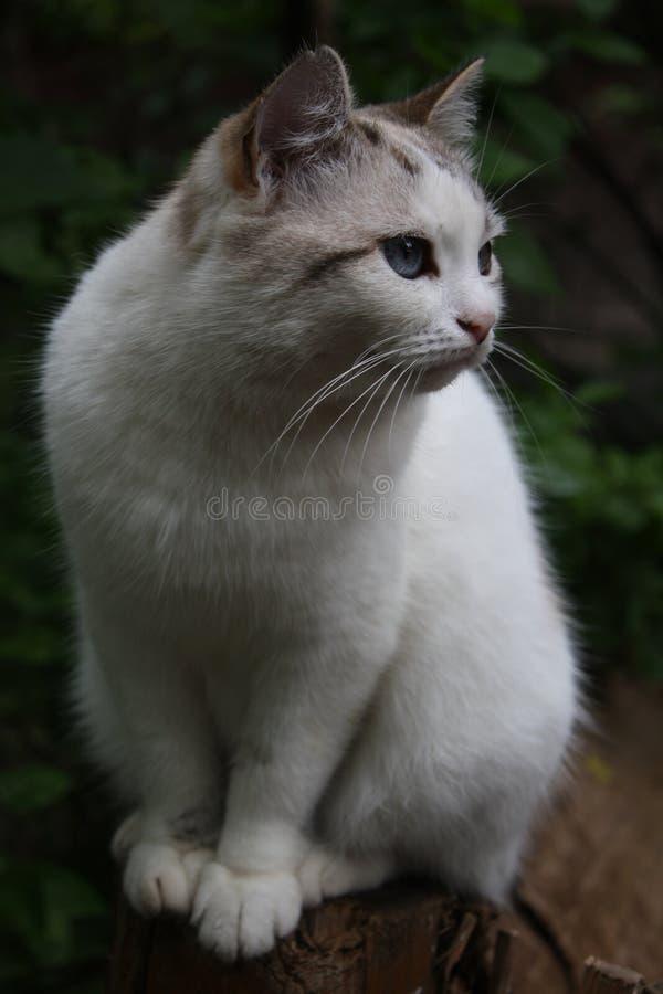 Chat blanc merveilleux sur la neige photos stock