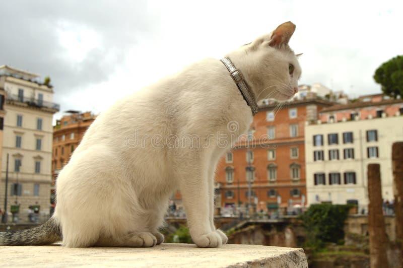 Chat blanc mignon se reposant sur Largo di Torre Argentina carré Dans les ruines romaines antiques sur le site du meurtre de image libre de droits