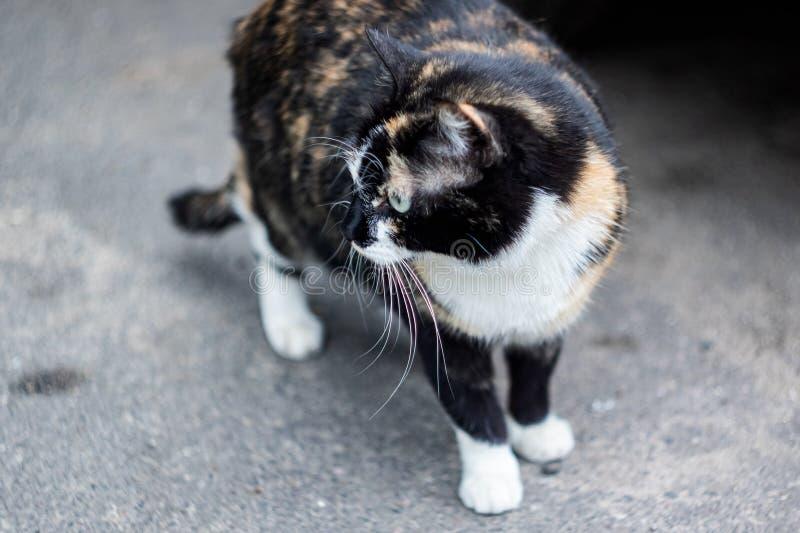 Chat blanc noir de gingembre se reposant sur le trottoir photos stock