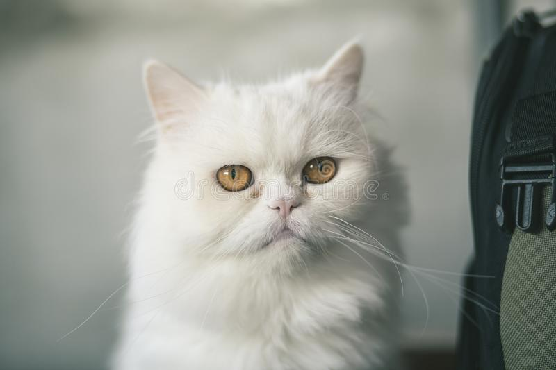Chat blanc persan photographie stock