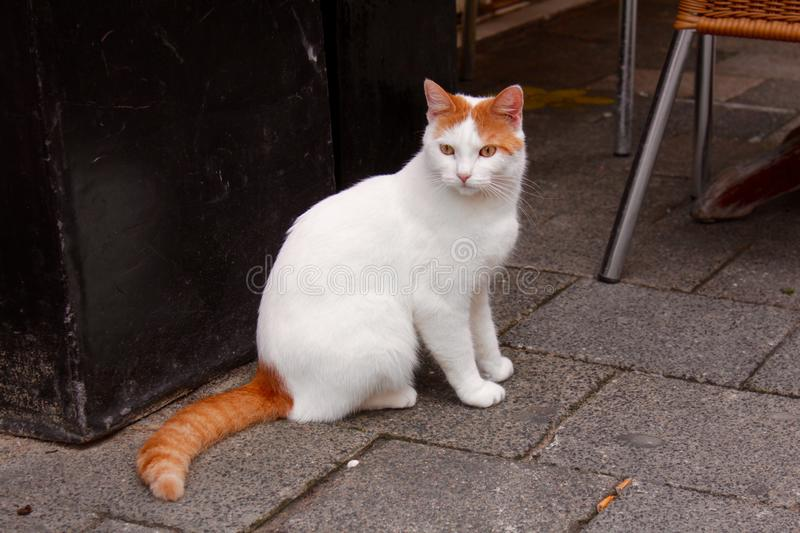 chat Blanc-rouge photo stock