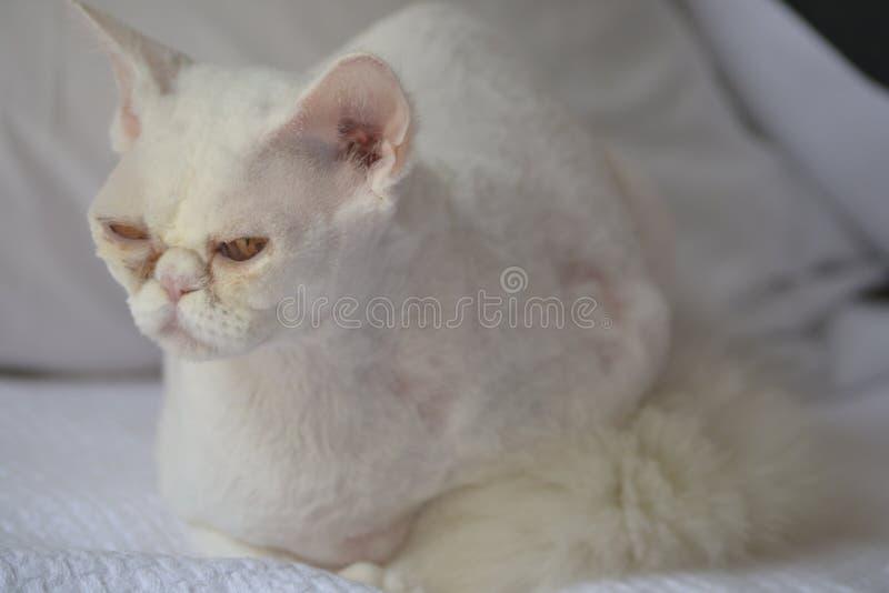 Chat blanc somnolent photos stock