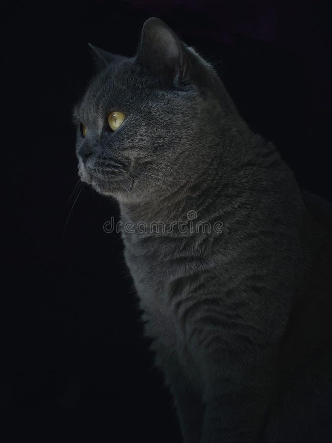 Chat bleu britannique photo stock