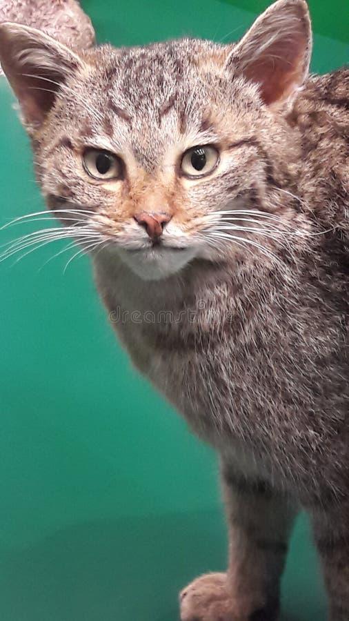 Chat bourré dans le musée images stock