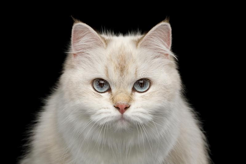 Chat britannique adorable avec des yeux bleus sur le fond noir d'isolement image stock