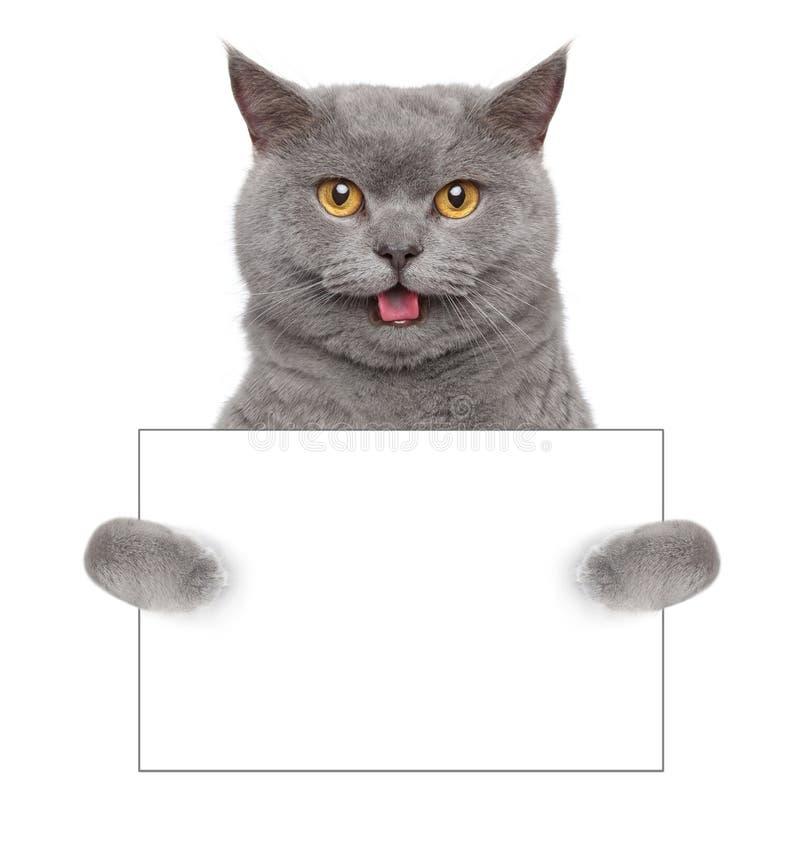 Chat britannique avec la carte de visite professionnelle vierge de visite sur le fond blanc photo stock