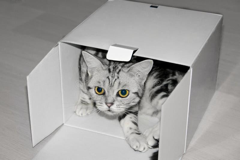 Chat britannique de cheveux courts dans le boîtier blanc images stock