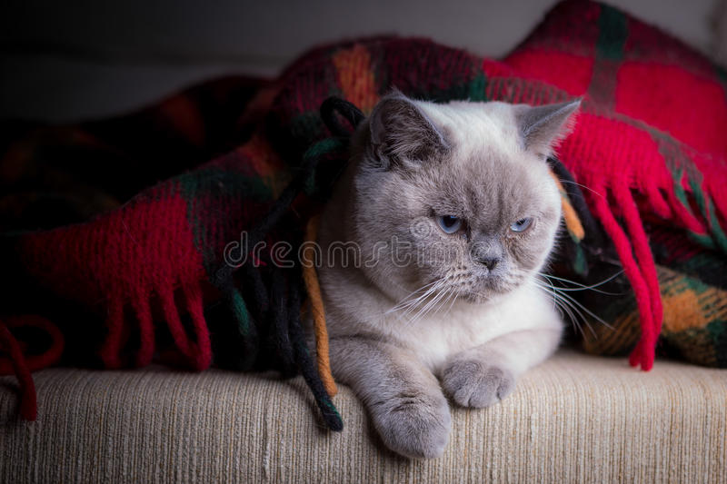 Chat britannique de colorpoint de shorthair photo stock