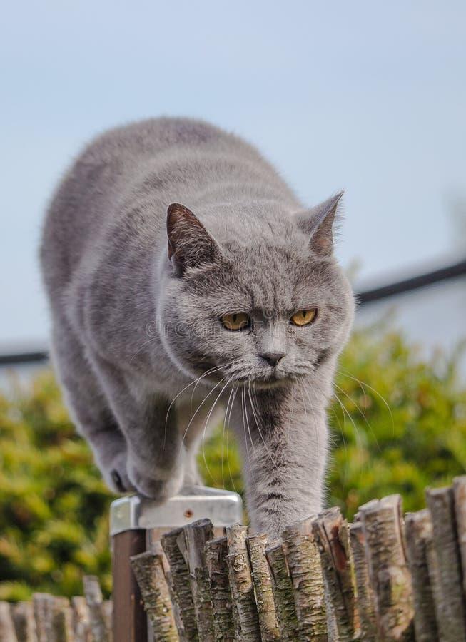 Chat britannique de shorthair chassant sur une barrière de jardin image libre de droits