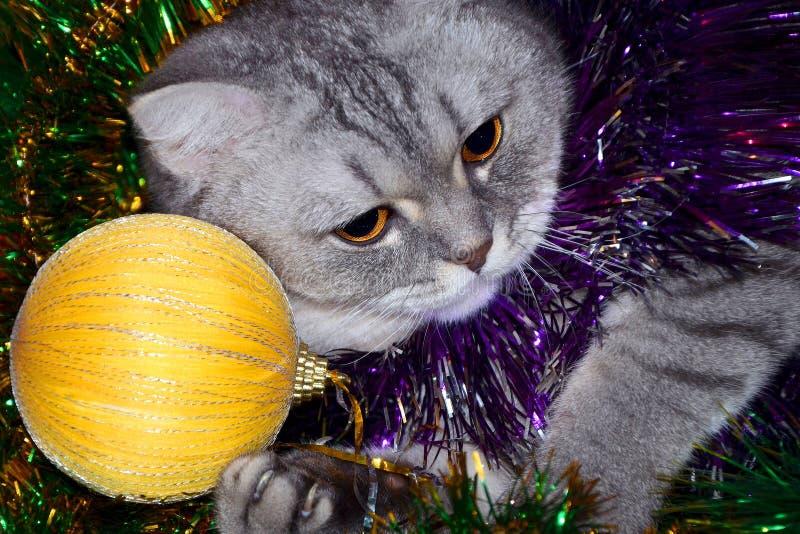 Chat britannique de shorthair rayé en tresse verte avec une boule jaune Se préparant à la nouvelle année, décoration d'arbre de N photographie stock