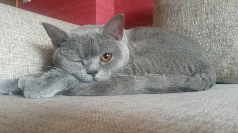 Chat britannique drôle après sommeil photo stock
