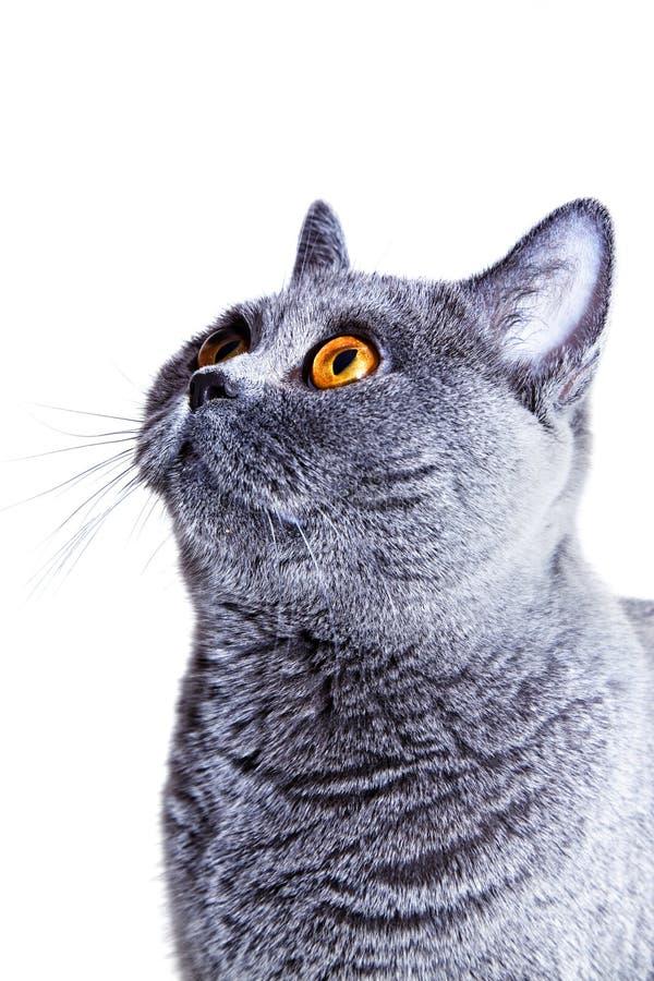 Chat britannique gris photo libre de droits