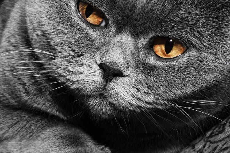 Chat britannique gris drôle photo libre de droits