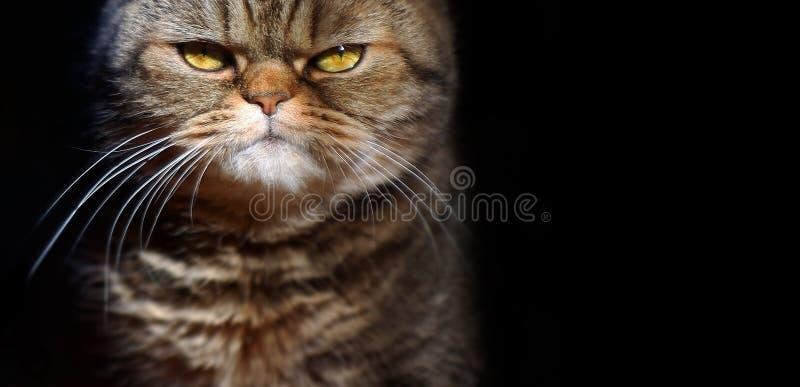 Chat britannique sérieux tigré grincheux sur un fond noir, station thermale gratuite photographie stock