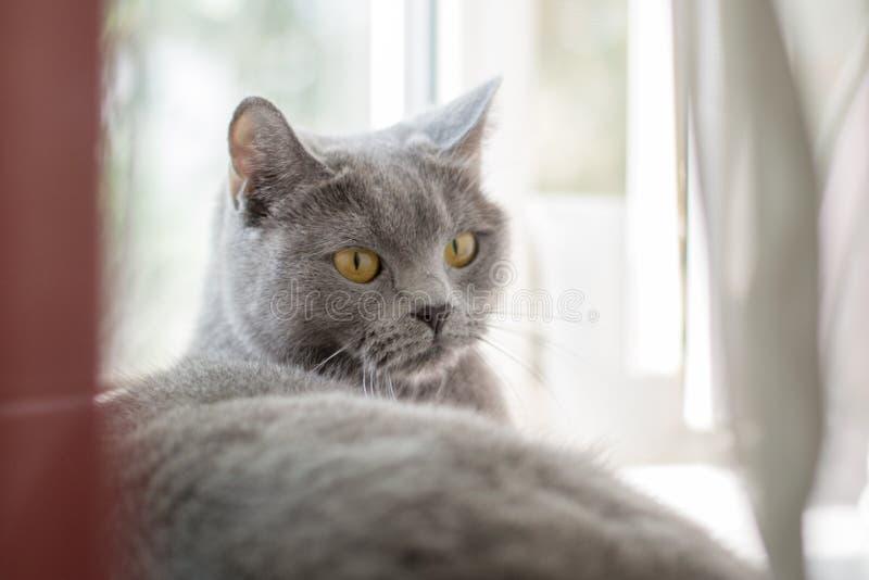 Chat britannique se trouvant sur le rebord de fenêtre photos libres de droits