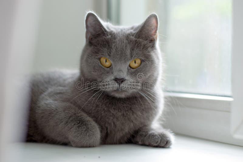 Chat britannique se trouvant sur le rebord de fenêtre photo libre de droits