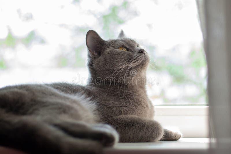 Chat britannique se trouvant sur le rebord de fenêtre image libre de droits