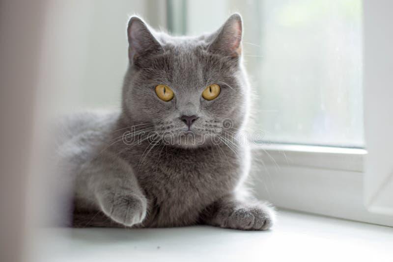 Chat britannique se trouvant sur le rebord de fenêtre photo stock