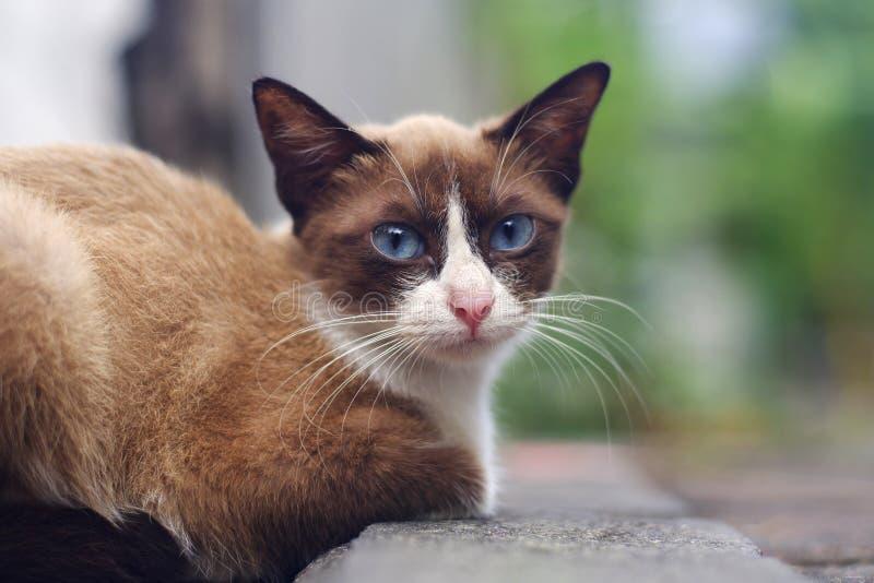 Chat brun d'yeux bleus photos stock