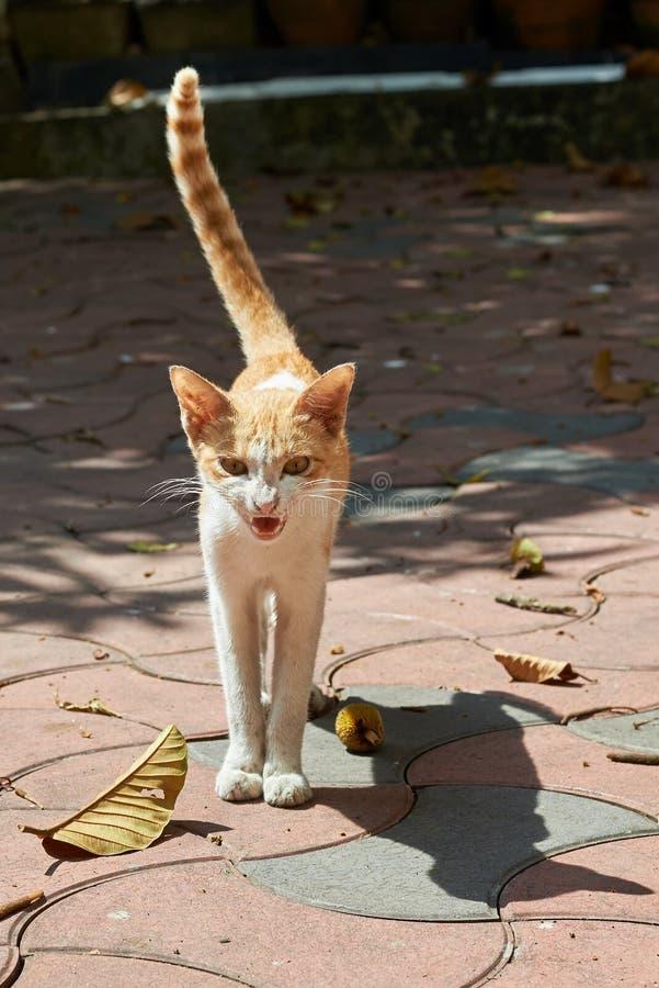 Chat brun et blanc fâché grondant avec sa queue dans le ciel photographie stock libre de droits