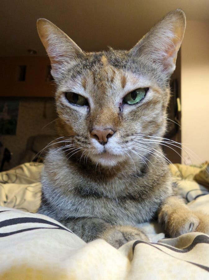Chat brun somnolent avec les yeux verts photo libre de droits