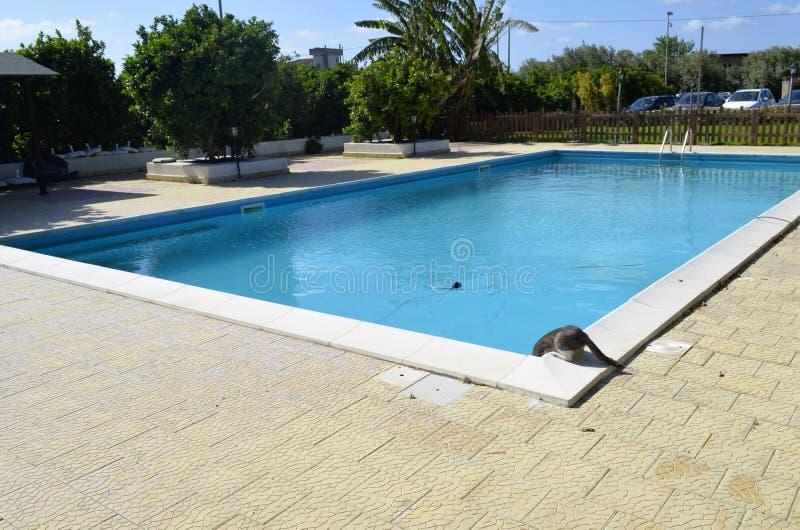Chat buvant dans la piscine image libre de droits