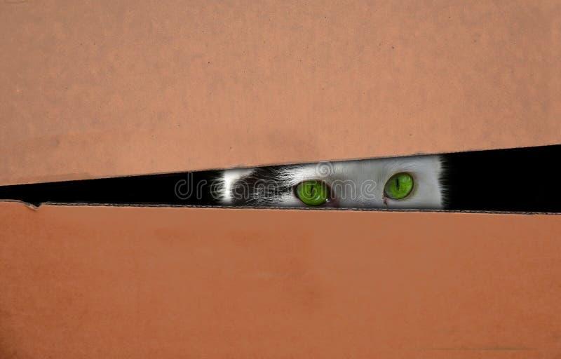 Chat caché dans une boîte photos libres de droits