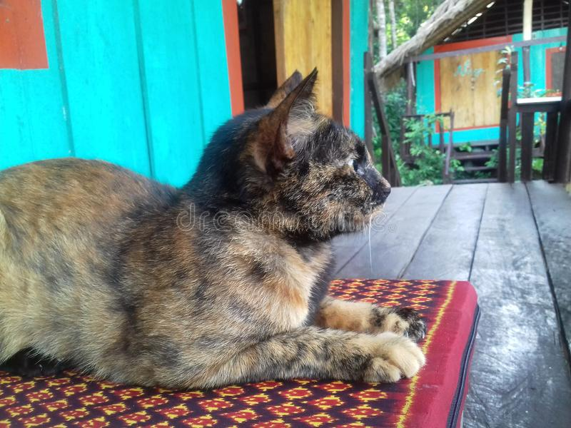 Chat cambodgien lumineux photographie stock
