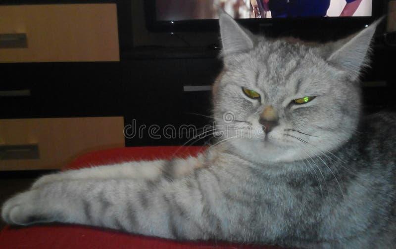 Chat, chats, animaux familiers, droit écossais photographie stock libre de droits