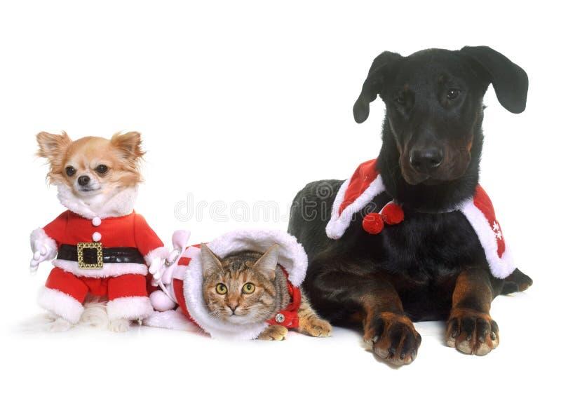 Chat, chiens et Noël photos libres de droits