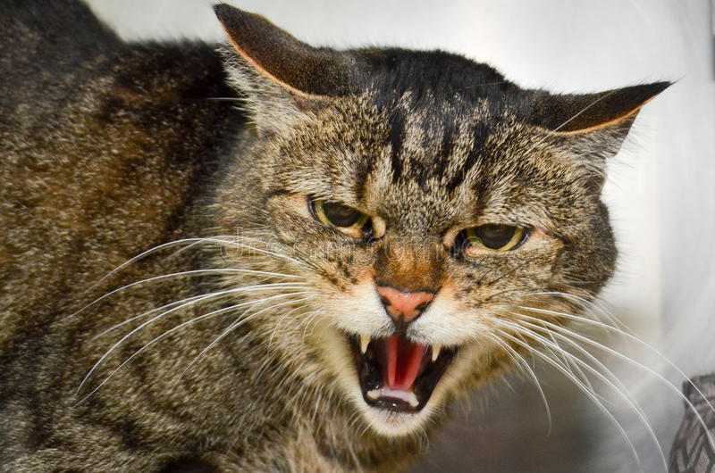 Chat d'Angery photo stock