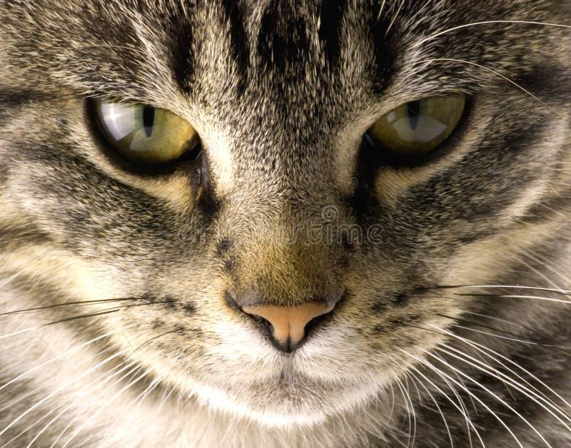 Chat d'animal familier photos libres de droits