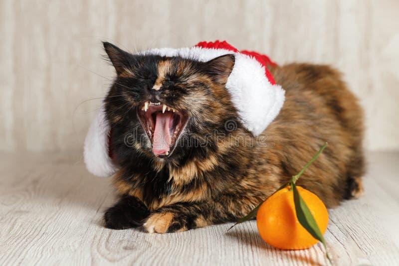 Chat dans des mensonges de chapeau de Noël près de mandarine et de bâillements image stock
