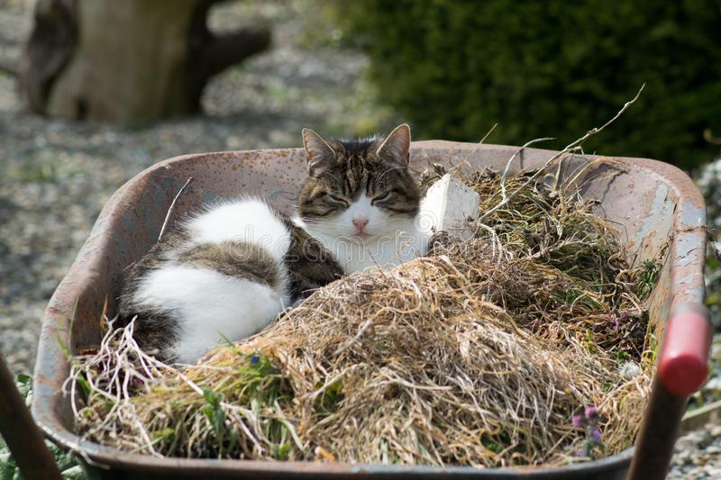 Chat dans la brouette photo libre de droits