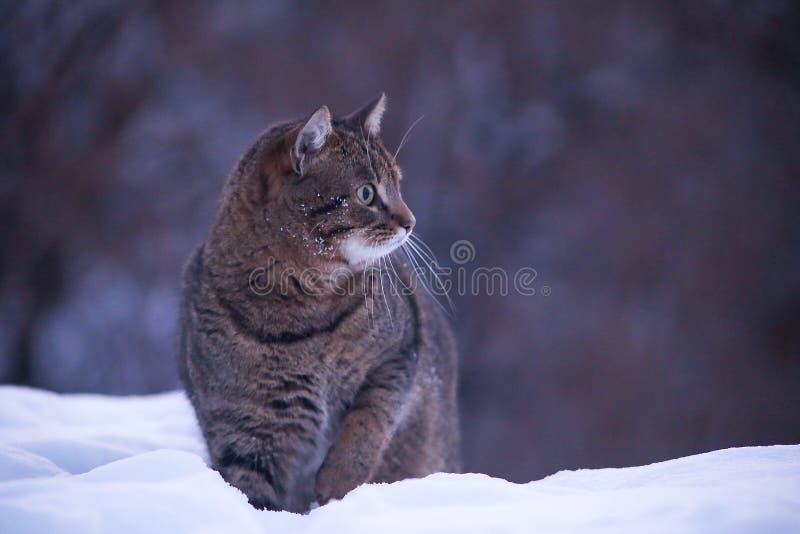 Chat dans la neige examinant la distance photographie stock