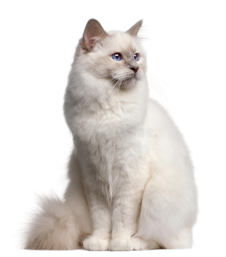 Chat de Birman, 9 mois photos stock