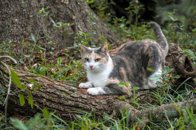 Chat de calicot affilant ses griffes sur le chêne photographie stock libre de droits