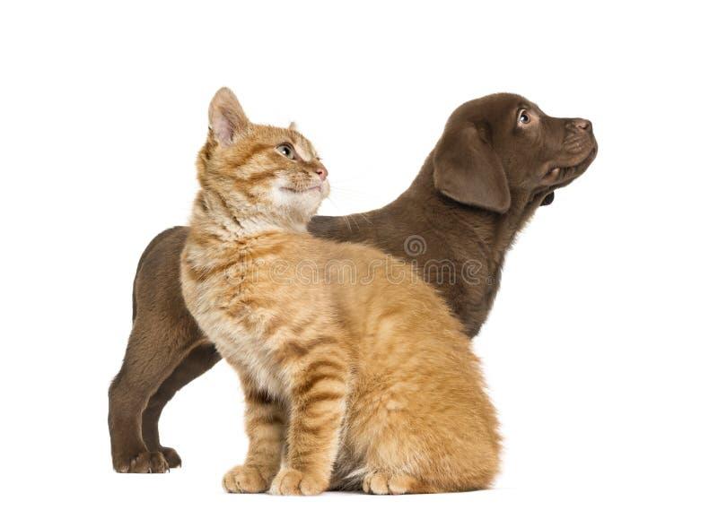 Chat de chiot et de gingembre de labrador retriever photo stock
