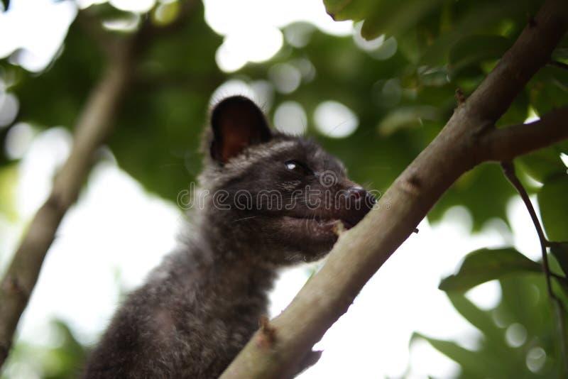 Chat de civette sur l'arbre photo stock